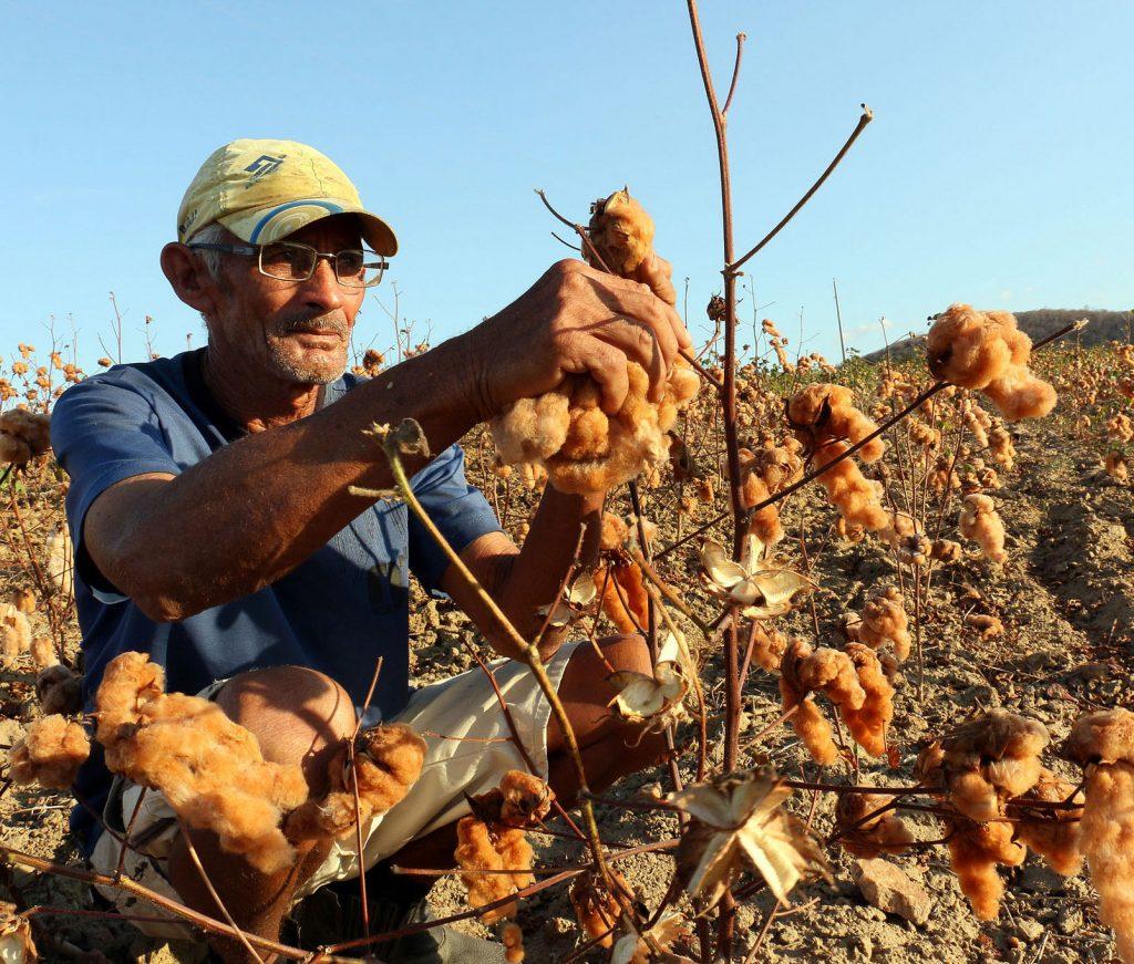 agricultor colhe algodão colorido organico